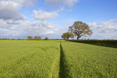 Springtime wheat crop and oak trees Stock Photo