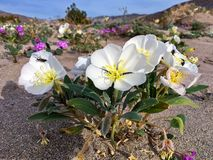 Springtime Wildflower in bloom in Anza Borrego Desert State Park Stock Images