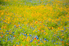Spring Flowers. Field full of colorful yellow and blue wildflowers in Springtime Stock Photo