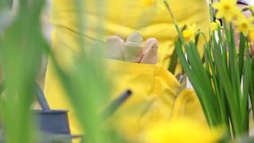 Springtime, woman in garden takes care of narcissus stock footage