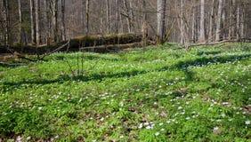 Springtime Wood Anemone flowers stock photos