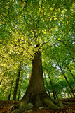 Springtime. In the wood by a beech tree Royalty Free Stock Photography
