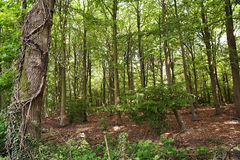Springtime Woodland. Woodland in early springtime when the leaves are still bright yellow-ish green Stock Images