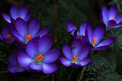 Springtime in the woodland. Lilac crocus flowers in the woodland. Photography of nature Stock Images