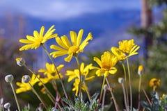Springtime. Yellow daisy flowers Chrysanthemum coronarium. Yellow daisy flowers Chrysanthemum coronarium. It is native to the Mediterranean region Stock Photos