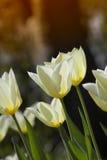 springtimetulpan Royaltyfria Foton
