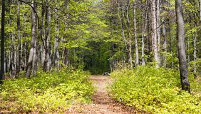 European beech wood with pathway Royalty Free Stock Photography