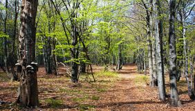 European beech wood with pathway Stock Photography