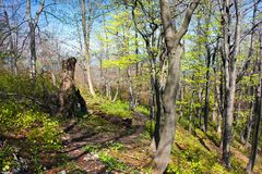 European beech wood with pathway Stock Images