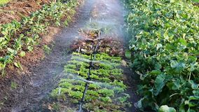Sprinkers Bespuitend Water op Rij van Installaties op Klein Landbouwbedrijf stock videobeelden