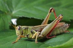 Sprinkhaan die op groen blad neerstrijken Stock Foto
