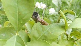 Sprinkhaan die op installatie blad de eten, sluit omhoog Sprinkhaan die groene flora, macro vernietigen stock videobeelden