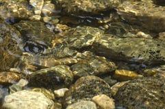 Sprinkhaan die op water loopt Stock Foto