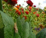 Sprinkhaan in een organische tuin Stock Foto