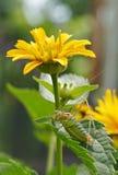 Sprinkhaan en bloem Stock Afbeelding