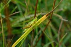 Sprinkhaan in het gras royalty-vrije stock foto