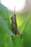 Sprinkhaan in het groene gras Stock Fotografie