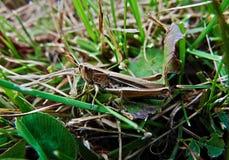 Sprinkhaan in het natuurlijke milieu Stock Foto