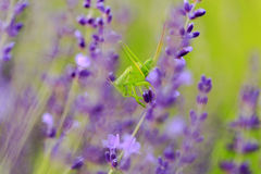 Sprinkhaan in lavendel Stock Foto