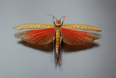 Sprinkhaan met uitgespreide vleugels Stock Fotografie