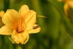 Sprinkhaan op een bloem royalty-vrije stock afbeelding