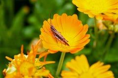 Sprinkhaan op een bloem Stock Foto's