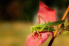 Sprinkhaan op een rood blad stock afbeelding