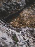 Sprinkhaan op een steen Stock Foto