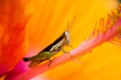 sprinkhaan op gele hibiscus met een onduidelijk beeldachtergrond Stock Foto