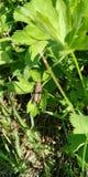 Sprinkhaan op groen gras in de zon stock afbeelding