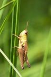 Sprinkhaan op het groene gras Stock Foto's