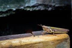 Sprinkhaan op plank Stock Fotografie