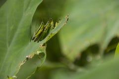 Sprinkhanen die op Colocasia-blad koppelen stock afbeelding
