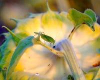 Sprinkhanen op een bloeiende zonnebloem royalty-vrije stock fotografie