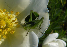 Sprinkhanen op een bloem Stock Foto's