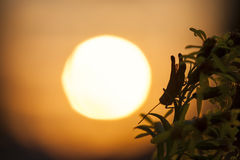 Sprinkhanensilhouet in de zon Stock Fotografie