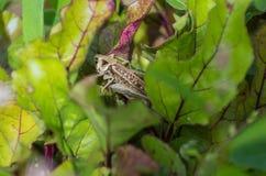 Sprinkhanenzitting en het verbergen uit in kleurrijke bladeren Royalty-vrije Stock Foto's