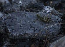 Sprinkhanenzitting op puin van een brand Stock Foto's