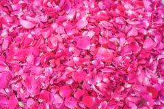 Sprinkled fresh pink rose petals royalty free stock images