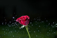 Sprinkled rose Royalty Free Stock Images