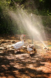 Sprinkler Fun Stock Photos