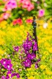Sprinkler head watering in garden. Royalty Free Stock Photos