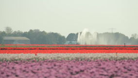 Sprinkler installation in a Dutch tulip field stock video