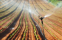 Sprinkler irrigated newly planted field with blue sky and clouds. Focus on impact rotor sprinker Stock Photos