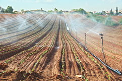 Sprinkler irrigated newly planted field with blue sky. Crops growing on fertile farm land in Israel Stock Image