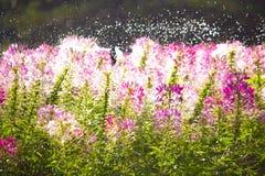 Sprinkler in park ,Garden irrigation system watering. Sprinkler in park ,Garden irrigation system watering at sunset Royalty Free Stock Images