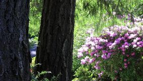 Sprinkler watering over fern and undergrowth. Sprinkler watering ferns and pink flowering trees in foreset setting stock video