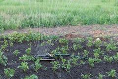 Sprinkler watering potatoes in garden Stock Photo