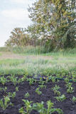 Sprinkler watering potatoes in garden Royalty Free Stock Photos