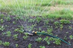 Sprinkler watering potatoes in garden Royalty Free Stock Photo